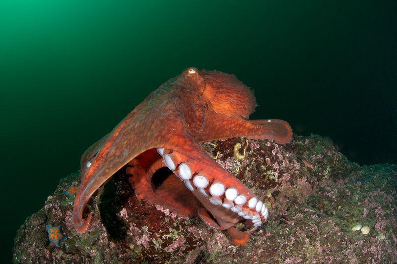осьминог, гигант, глубина, под водой, море, океан, глубина Встречаphoto preview