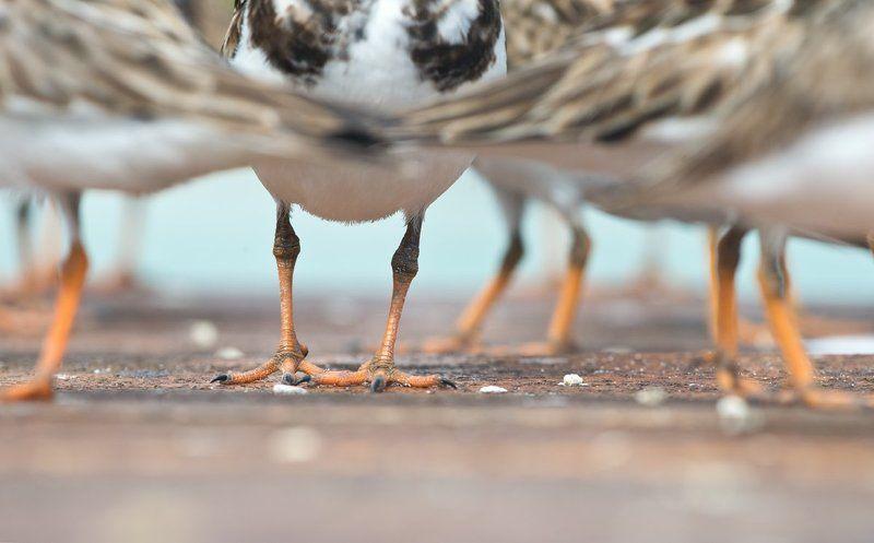 птицы, камнешарки, куба, дикая природа, животные, birds, animals, nature, wildlife, cuba В метро, или час пикphoto preview