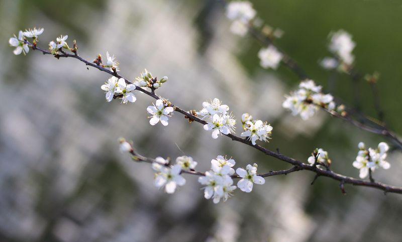 тёрн , весна , цветы Весна )photo preview