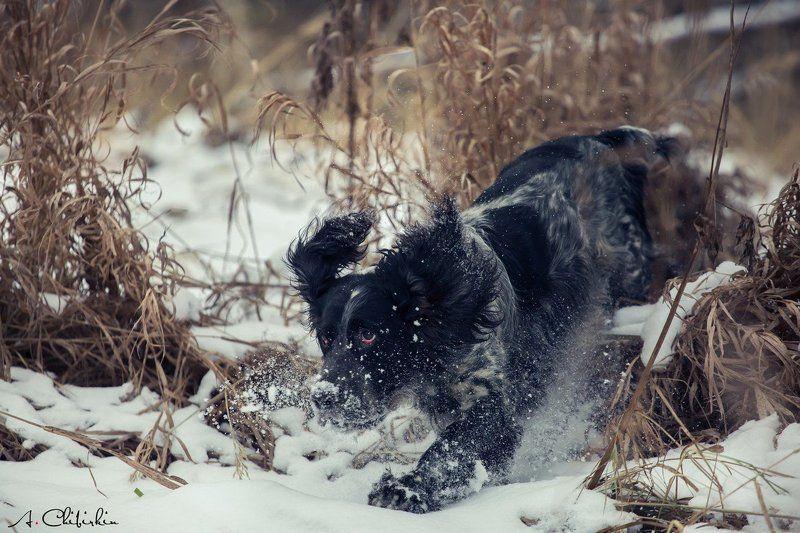 фотограф животных, саров, фотохудожник, александр чибиркин, английский, сеттер, собаки, охота, портрет, осень, рос На охоте.photo preview