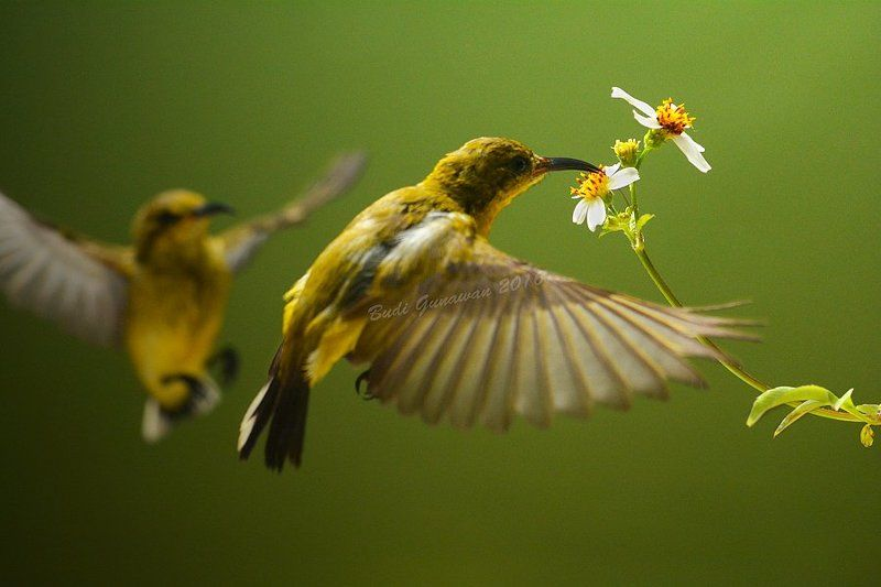sunbird competition bird  competitionphoto preview