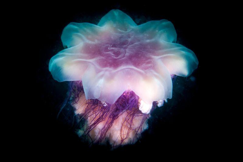 медуза, подводная фотография, дайвинг, под водой Пришелец из глубинphoto preview