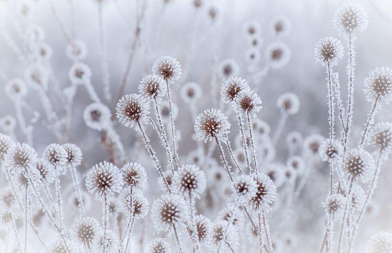 winter, snow, flower, bokeh, dandelition Зимние одуванчикиphoto preview