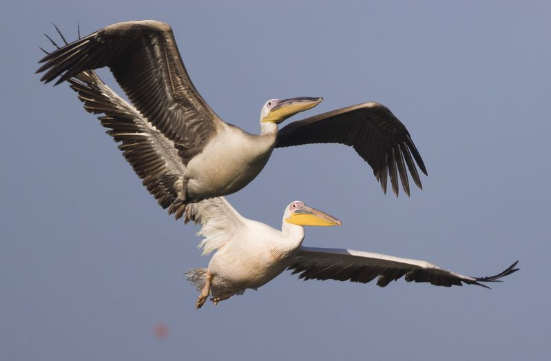birds israel pelicans twinsphoto preview