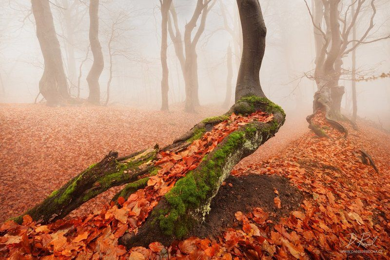 Czech republic, Ore mountains, North Bohemia, Bohemia, Tschechische republik, Erzgebirge, Europe, travel, nature, landscape, mist, fog, old tree, tree, trees, moss, leaves, autumn, fall, autumn forest, forest, rain, wet, rainy forest, rainy day, mountains Old tree in autumn colorsphoto preview