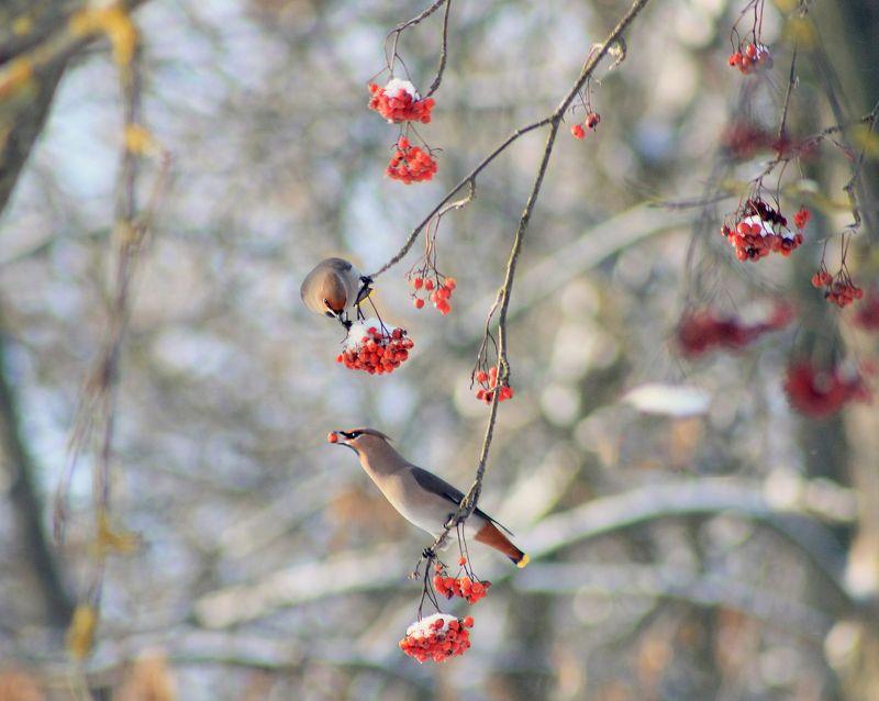 зима , птицы. Свиристель)photo preview