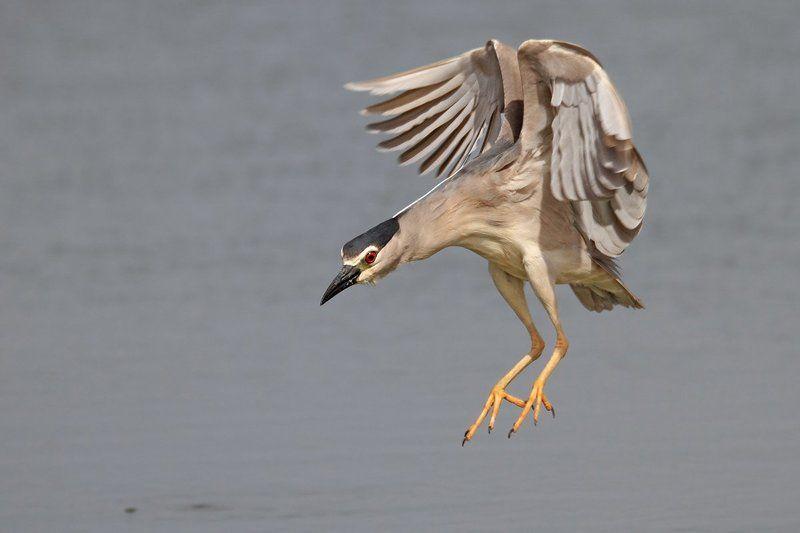 7d, animals, birds, night heron, sigma 150-600, животные, кваква, птицы, рыба Кваква на охотеphoto preview