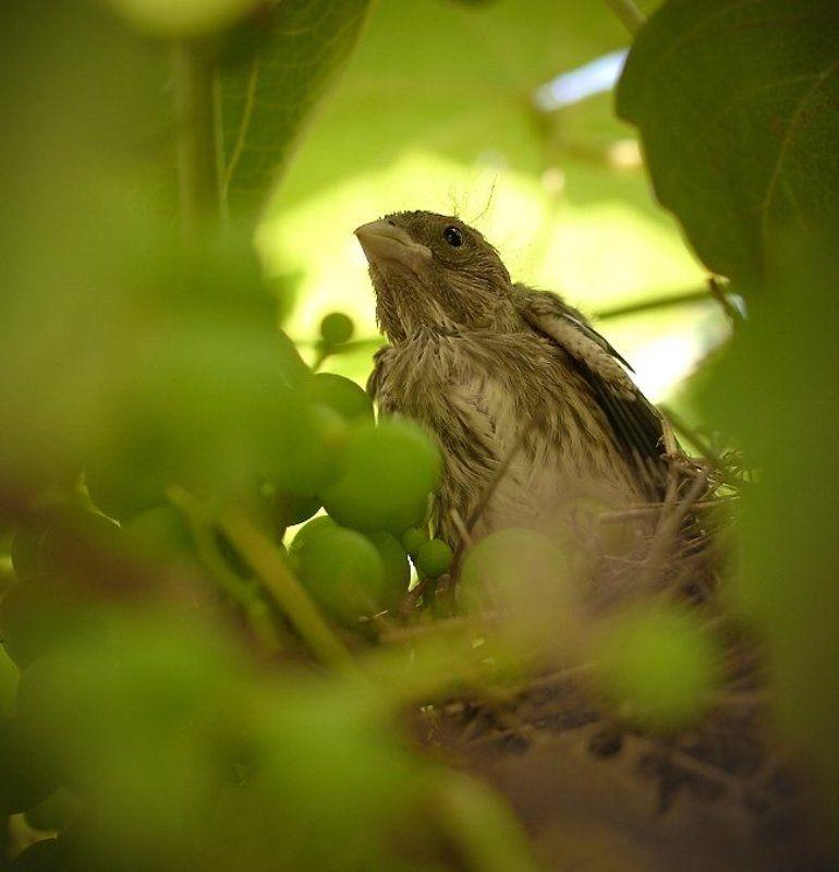 птенец, гнездо, лоза, виноград, малиновка Рожденный в лозеphoto preview