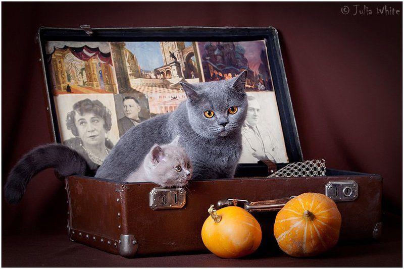котенок, кошка, британская, cat Британчикиphoto preview