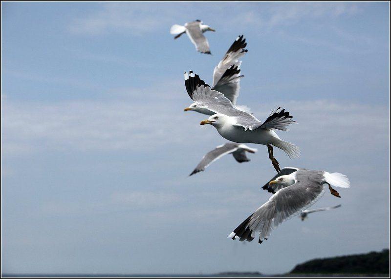 стая птиц, чайки, адриатическое море Птичьи историиphoto preview