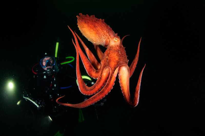 осьминог, дайвинг, гигантский осьминог, подводная фотография, diving, ocotpus Встреча!photo preview