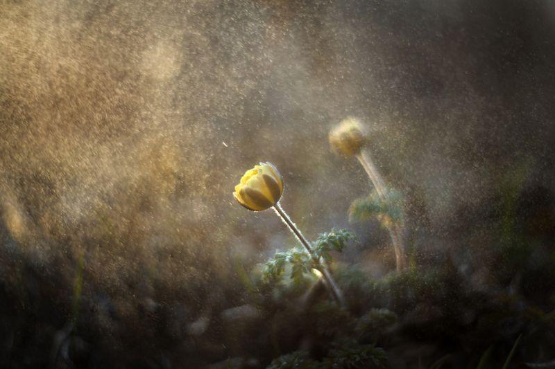 подснежник, весна Магия...photo preview