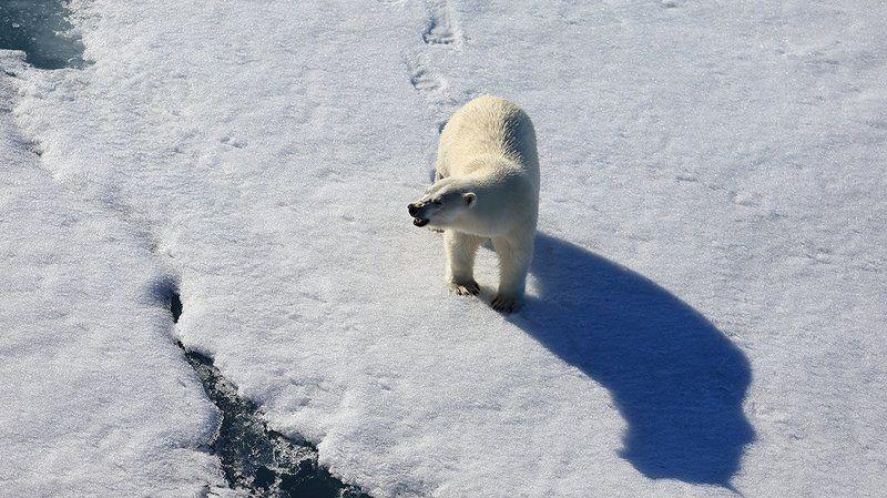 фотографандреевандрей, северныйполюс, northpole, арктика, arctic, ice, снег, лёд, круиз, expiditions, travel, белыймедведь, медведь, polarbear, животное, natgeowild photo preview
