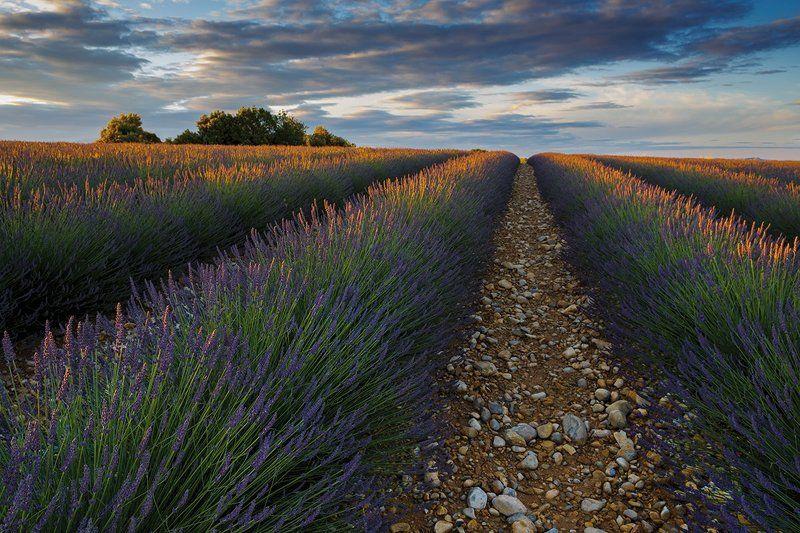 пейзаж, лаванда, прованс, рассвет, утро, Утро на лавандовом полеphoto preview