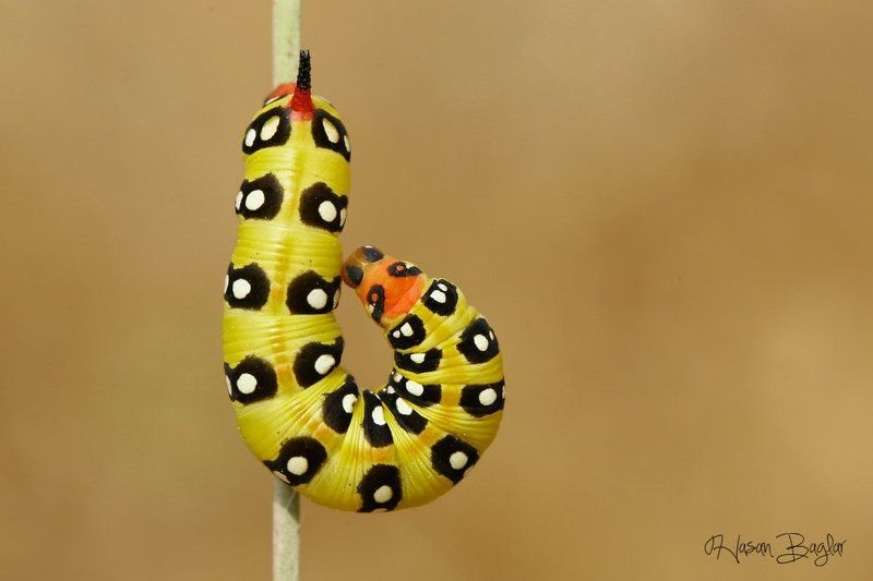#moth, #caterpillar, #macro, #nature, #northcyprus Hookphoto preview