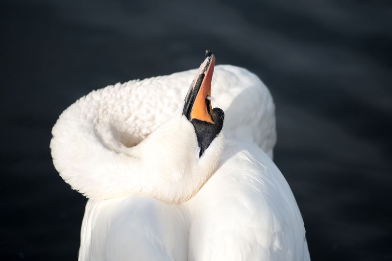 London,Hyde park, swan, white, contrast Утренний туалетphoto preview
