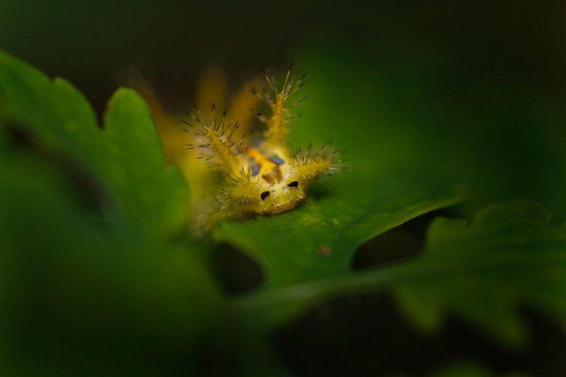 макро, гусеница Симпатичная рожица:)photo preview