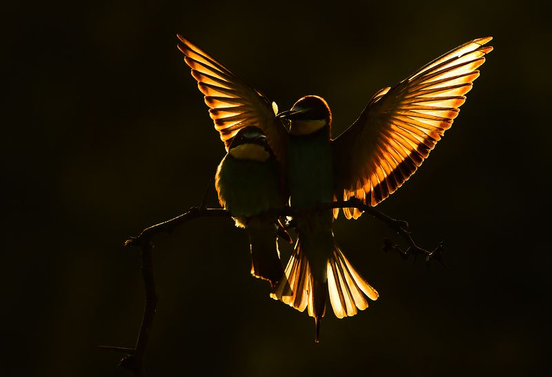 bee-eater wildlife photography nature European bee-eaters photo preview