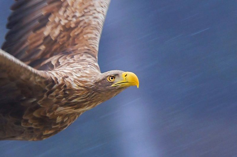 eagle, king of the skies, bird, haliaeetus albicilla, white-tailed eagle King of the skiesphoto preview