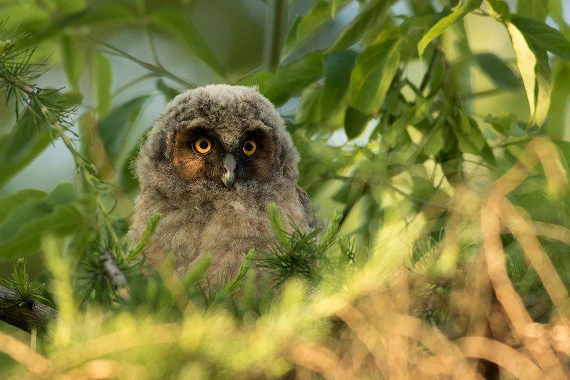 nature,animals,bird, Long-eared Owlphoto preview
