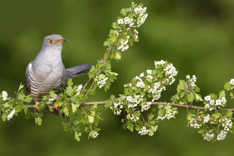 animals ,nature ,bird. Common Cuckoophoto preview
