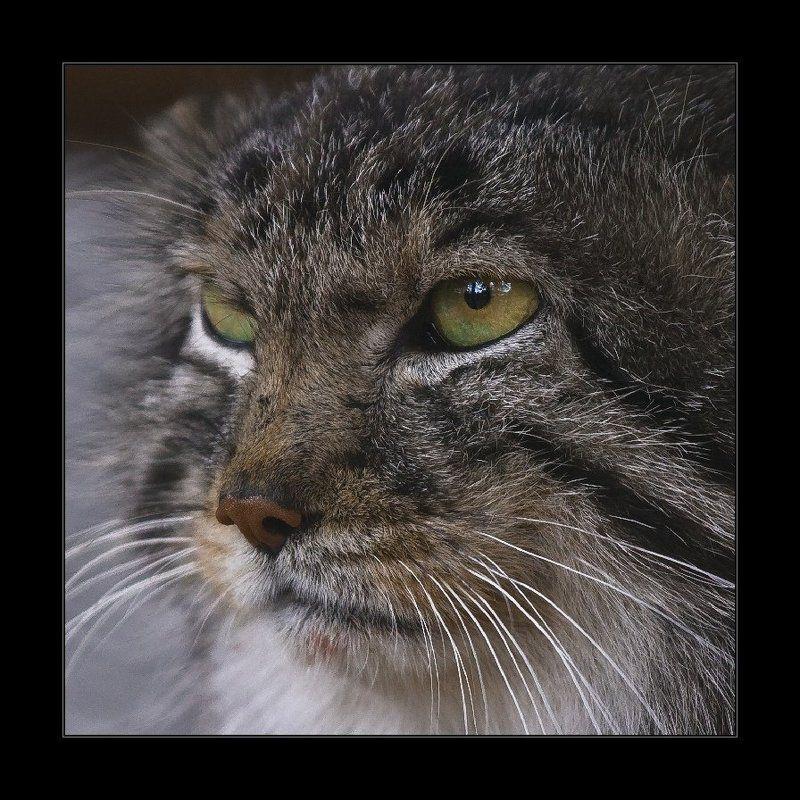 манул, кот, портрет Манулphoto preview