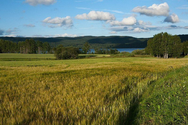 норвегия, осло, пейзаж, рожь, лето Норвежские зарисовкиphoto preview
