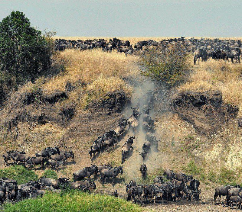 миграция, кения, масай, мара, гну Миграцияphoto preview