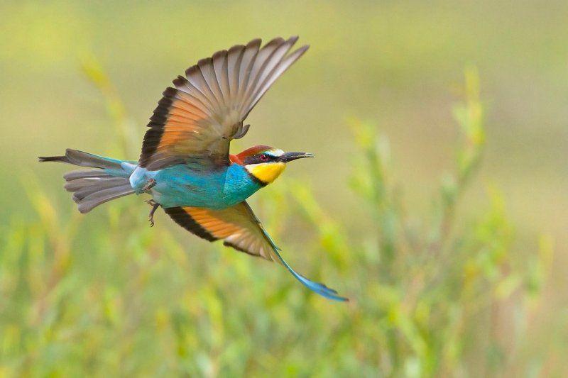 bird, wildlife, nature photography, animals, merops apiaster, żołna, european bee-eater, золотистая щурка Like a butterflyphoto preview