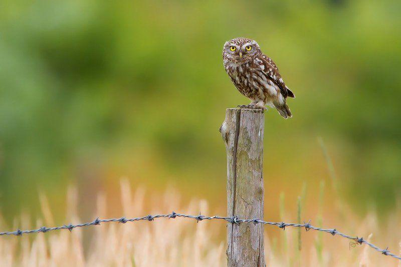bird, wildlife, nature photography, animals, little owl, домовый сыч Focusingphoto preview