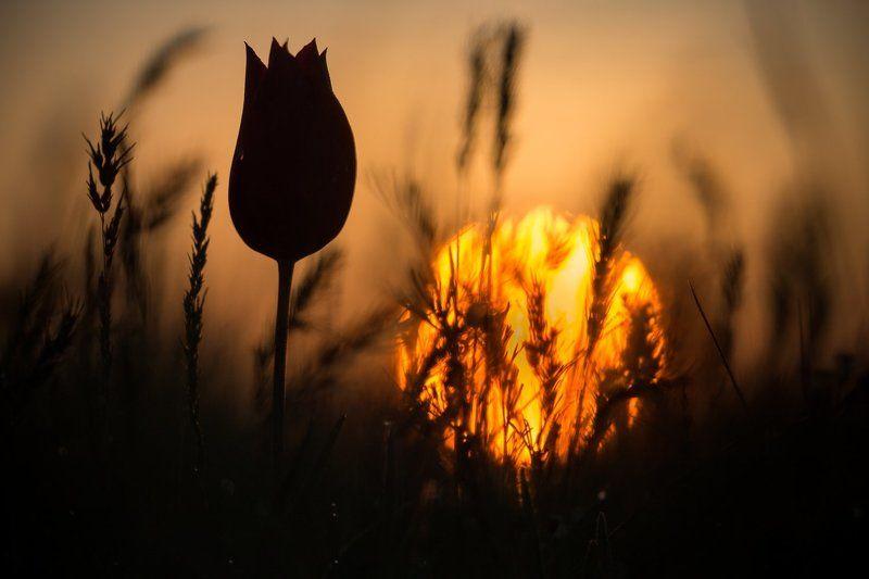 тюльпаны, маныч, калмыкия, весна Тюльпаны на рассветеphoto preview