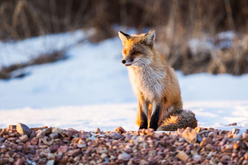 Владивосток, Зима, Лиса, Снег, Солнце Лисичка в лучах заходящего солнцаphoto preview