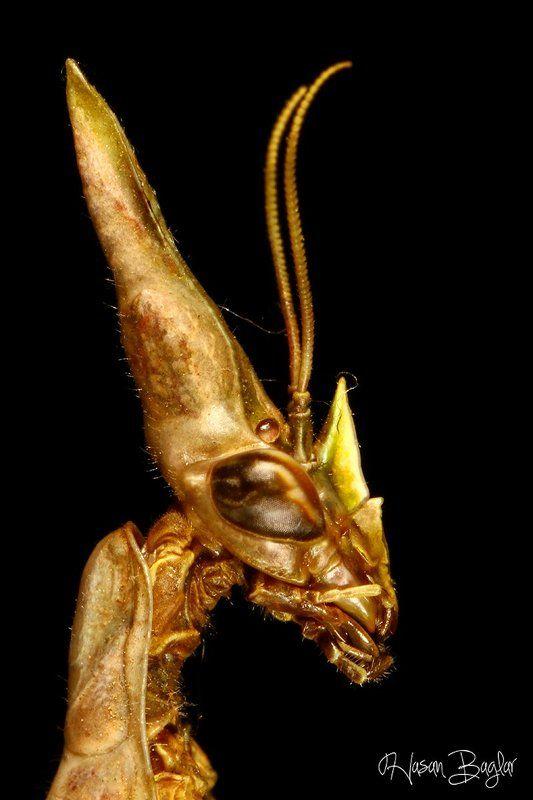 empusa, mantis, potrait, macro, allien Allienphoto preview