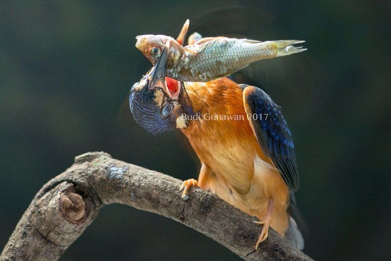 kingfisher, alcedo, alcedo atthis, fish, eat let shakephoto preview