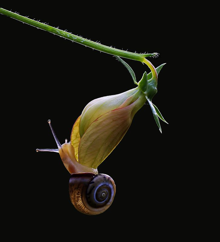 animal,nature,macro,snail,flower,impossible love. Impossible lovephoto preview