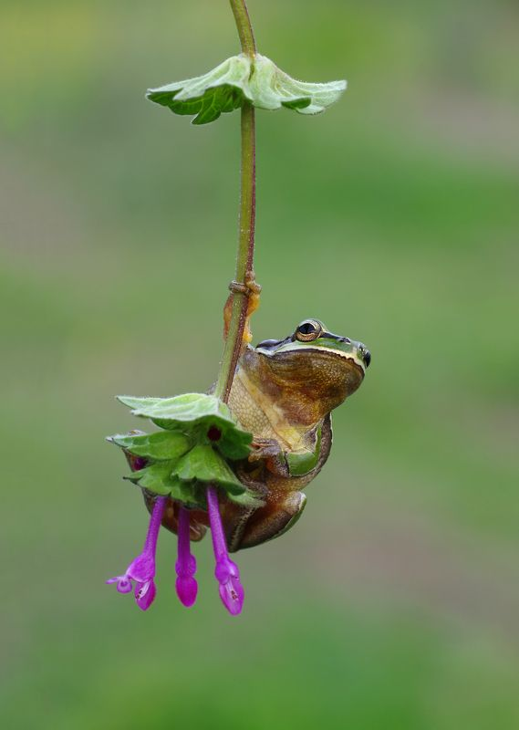 animal, nature, macro, tree frog, hello, swing, flower,  Hello :)photo preview