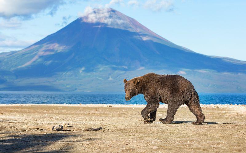 Медведь, Камчатка Черныйphoto preview