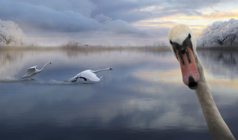 лебеди, озеро, зима, птицы, полет, река, пейзаж, Селфи.photo preview