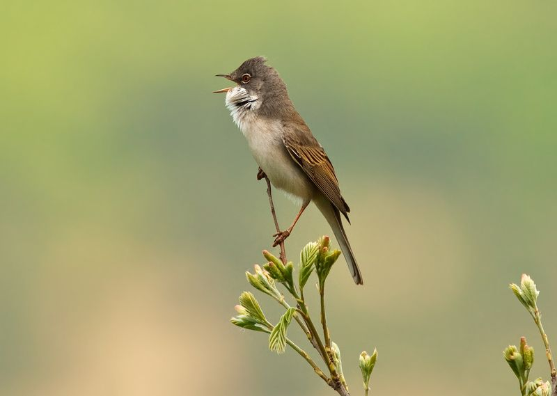 Common whitethroatphoto preview