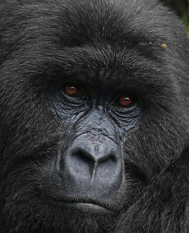 горная горилла, Gorilla beringei, Африка, Заир, Вирунга, дикие животные, дикая природа, фотоохота Былое и думыphoto preview