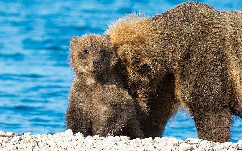 Медведь, Камчатка С любимой мамойphoto preview