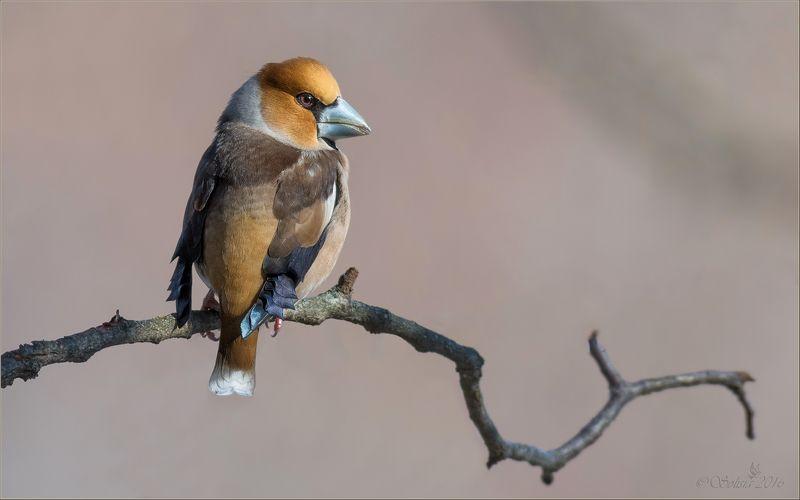 птицы, природа, coccothraustes coccothraustes, дубонос, самец, весна, март, 2016, москва, куркино Дубоносphoto preview