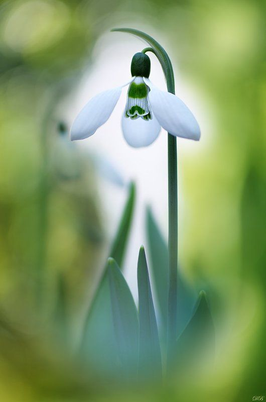 annunciation, flower, flowers, green, macro, nature, photography, snowdrop, spring, springtime, white, White Annunciationphoto preview