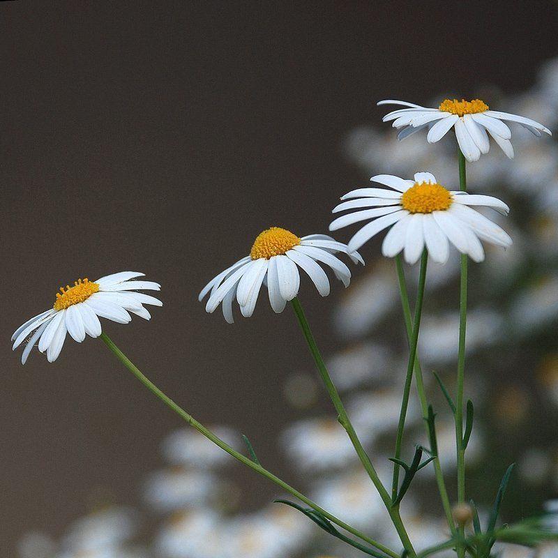 цветы, ромашки ***photo preview