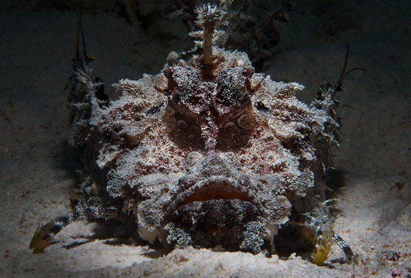 скорпена, рыба, море, подводная съемка фото на паспортphoto preview