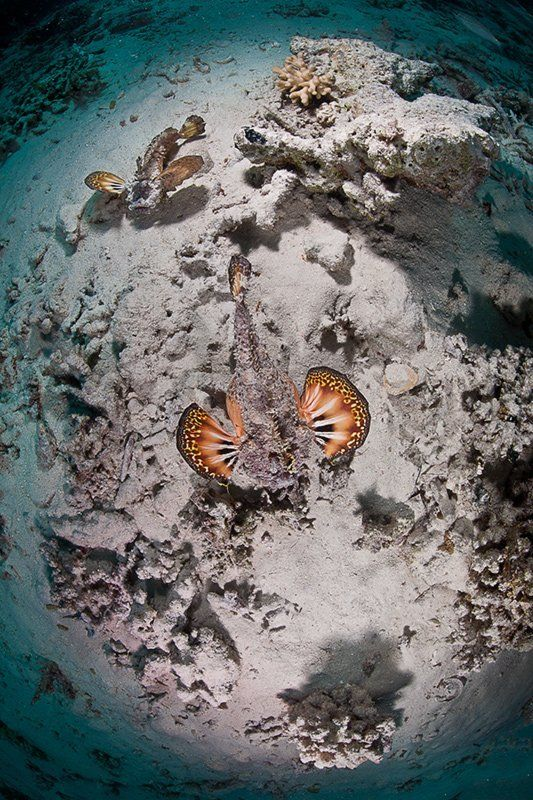 красное море, рыба, подводная съемка, весна, пара мир морских дьяволовphoto preview