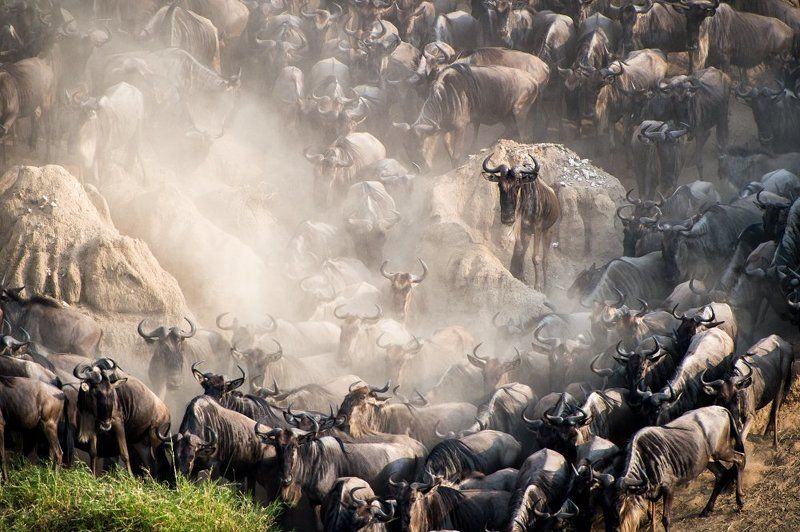 #gnu, #animals, #africa, #tanzania, #dust, #crossing, #greatmigration, #migration Ready for crossing, Tanzaniaphoto preview