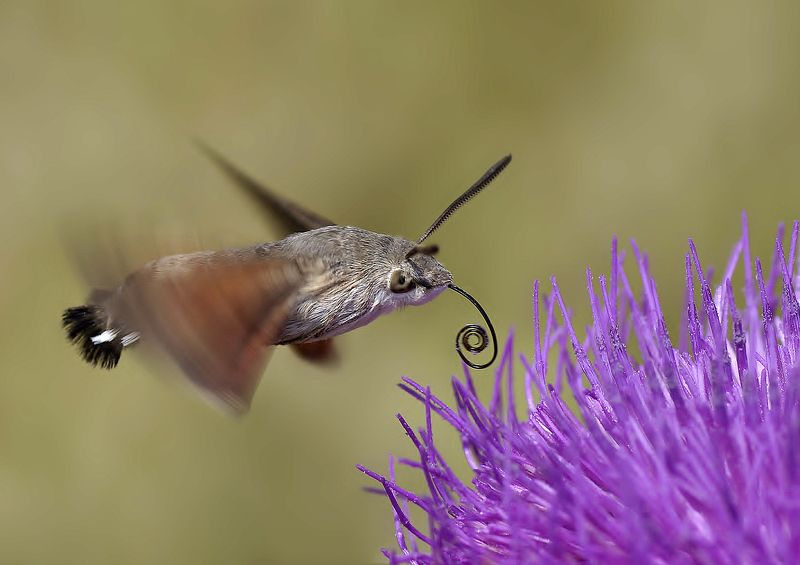animal, nature, macro, hummingbird moth, speedy, Speedyphoto preview