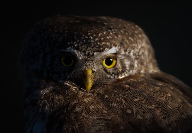 Eurasian Pygmy Owl, finland, owl Eurasian Pygmy Owlphoto preview