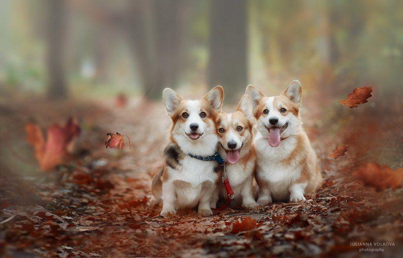 собаки, вельш-корги пемброк, парк, осень Коржикиphoto preview